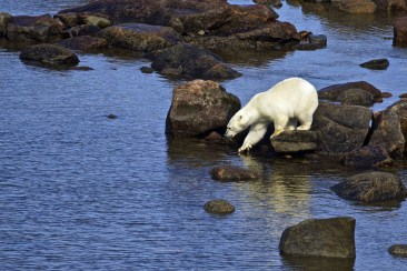 cool-drink-for-a-polar-bear-seal-river-heritage-lodge