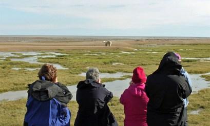 photographing-summer-polar-bear-nanuk-polar-bear-lodge