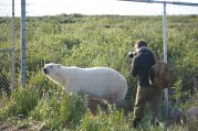 polar-bear-at-fence-seal-river-heritage-lodge