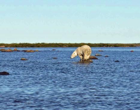 polar-bear-beluga-hunting-seal-river-churchill-wild-jayne-shepherd
