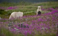 polar-bear-cub-listening-to-mom-seal-river-richard-voliva