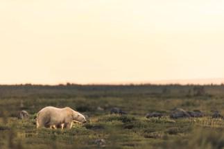 polar-bear-in-meadow-seal-river-heritage-lodge-jad-davenport