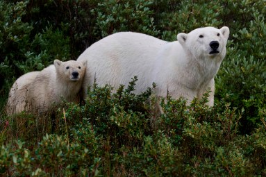 polar-bear-mom-and-cub-summer-nanuk-polar-bear-lodge