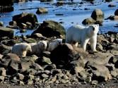 polar-bear-triplets-seal-river-heritage-lodge-quent-plett