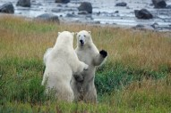 polar-bears-play-fighting-summer-at-seal-river-heritage-lodge
