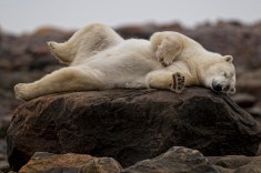 sleepy-summer-polar-bear-by-Robert-Postma
