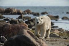 summer-polar-bear-in-rocks-seal-river-heritage-lodge