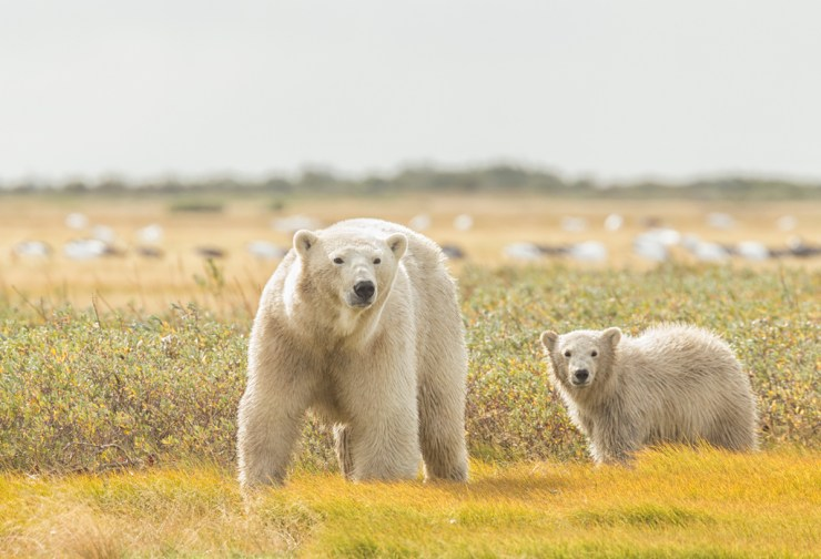 Yes you can see polar bears during the summer! Robert Postma photo.
