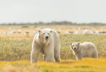 summer-polar-bears-mom-and-cub-nanuk-robert-postma