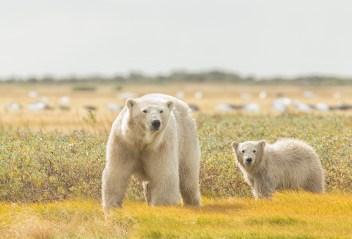 summer-polar-bears-mom-and-cub-nanuk-robert-postma