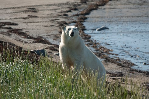 thinking-polar-bear-seal-river-heritage-lodge-richard-voliva