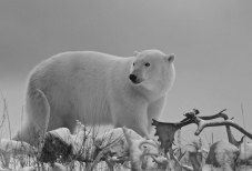 White, grey and black polar bear photo. Seal River Heritage Lodge.