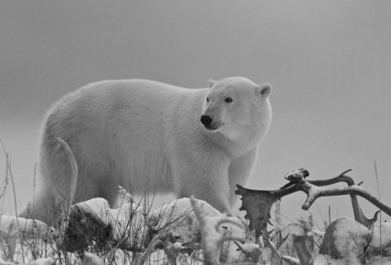 White, grey and black polar bear photo. Seal River Heritage Lodge.