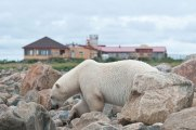 Polar bear in the rocks in front of Seal River Heritage Lodge. Dennis Fast photo.