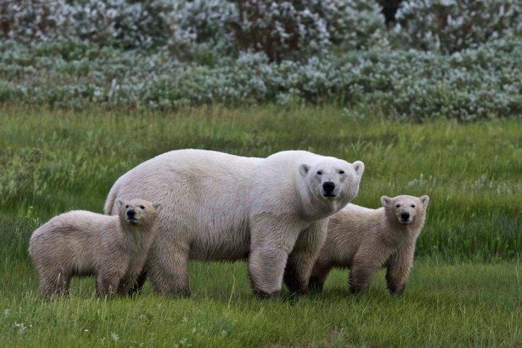 Polar bear family at Nanuk Polar Bear Lodge.