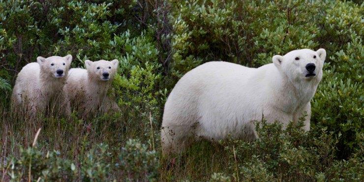 Polar bear Mom and cubs emerge from bushes at Nanuk Polar Bear Lodge.