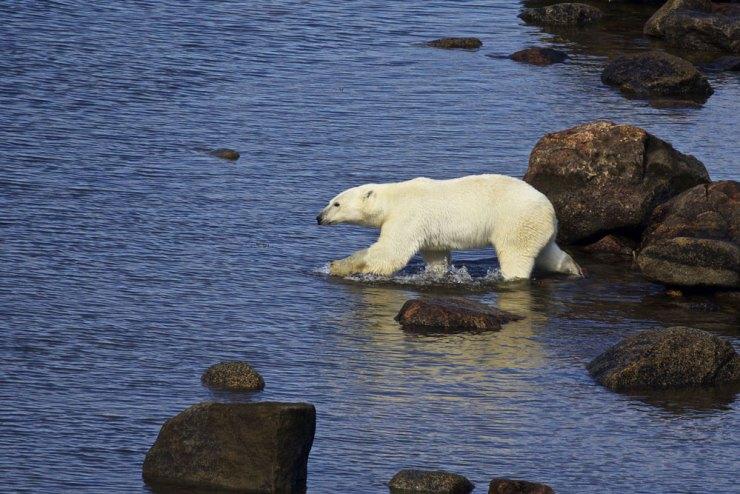 Polar bear heads into the sea at Fireweed Island.