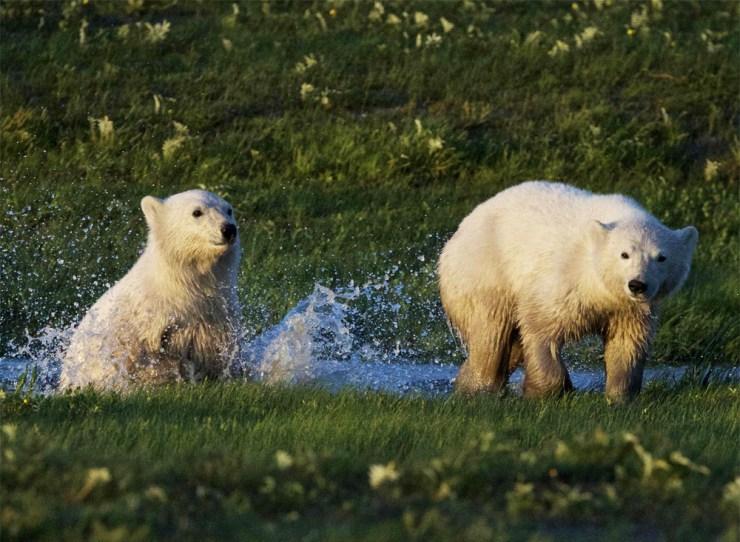Polar bear cubs splashing in creek at Nanuk Polar Bear Lodge.