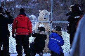 Guests meet polar bear at Dymond Lake Ecolodge. Ian Johnson photo.
