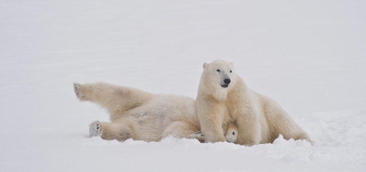 bears-wrestling