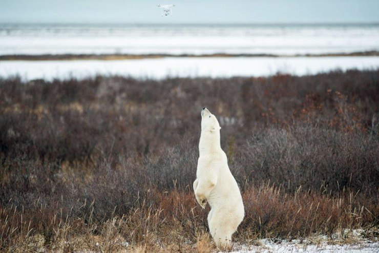 Polar bear checking out drone at Nanuk Polar Bear Lodge. Zach Doleac photo.