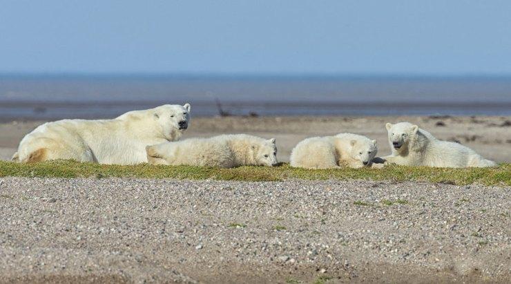 Polar bear family on gravel bar at Nanuk Polar Bear Lodge. Robert Postma photo.