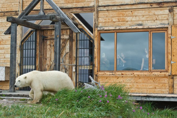 Polar bear walks by guests in the window at Seal River Heritage Lodge.