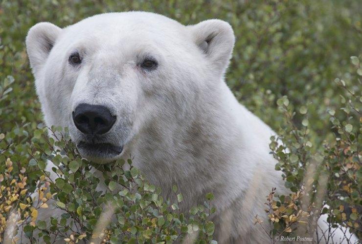 Will polar bears adapt and evolve? Robert Postma photo.