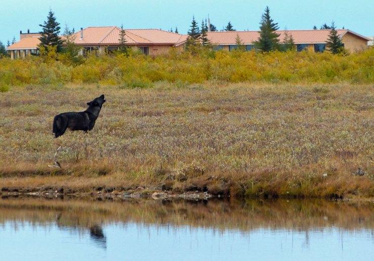 Wolf howling at Nanuk Polar Bear Lodge. Andy MacPherson photo.