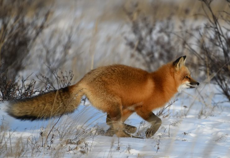 Red Fox. Brock Stanaland photo.