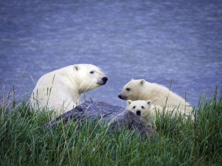Mom and cubs in the grass in front of Seal River Heritage Lodge.