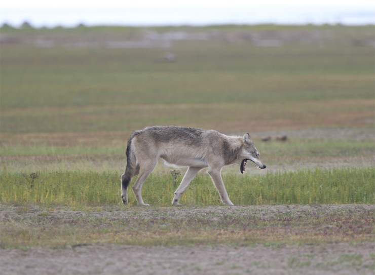 Early morning wolf yawns at Nanuk Polar Bear Lodge.