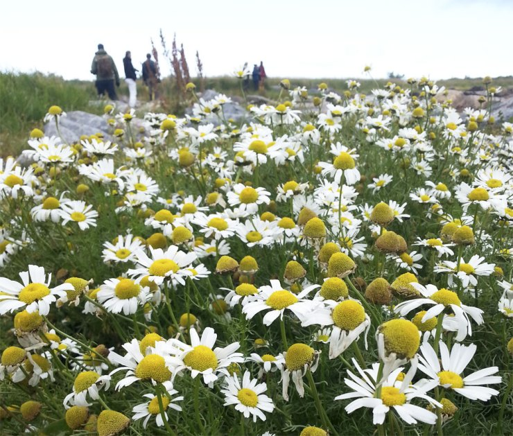 Wild chamomile at Seal River Heritage Lodge. Jennifer Ennion photo.