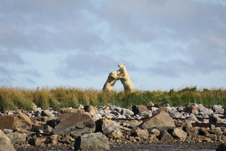 Polar bears sparring near Seal River Heritage Lodge. Jennifer Ennion photo.