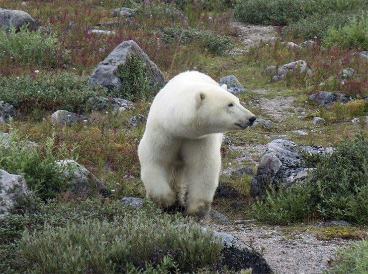 Polar bear walking towards group at Seal River.