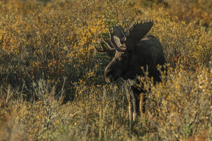 Moose at Nanuk Polar Bear Lodge. Jad Davenport photo.
