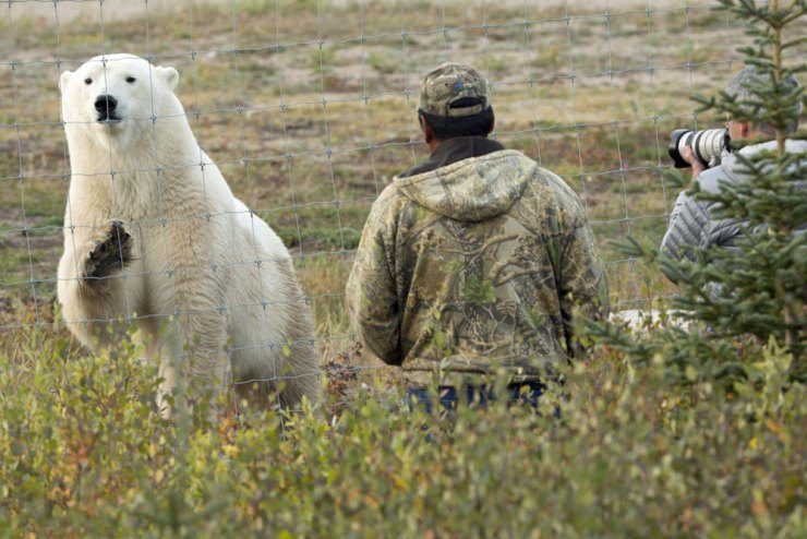 Polar bear converses with guests at Nanuk Polar Bear Lodge.