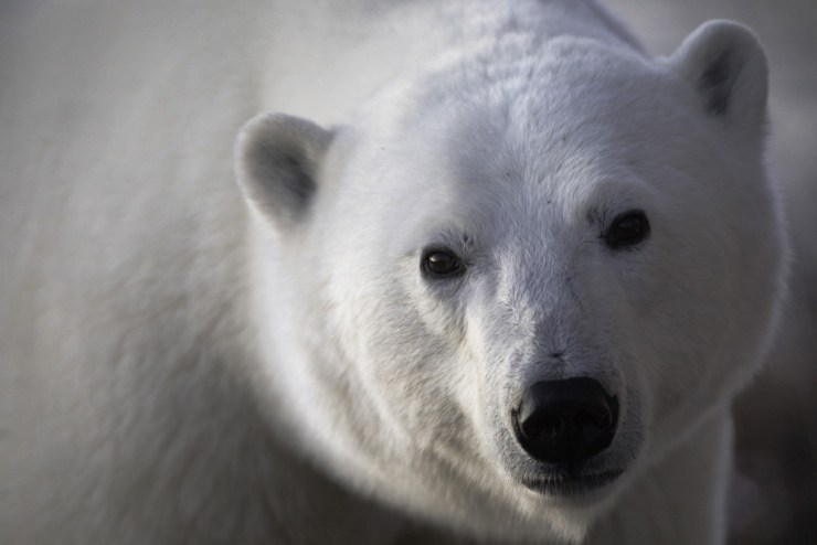 The message is in the eyes. Robert Postma photo. Polar bear. Seal River Heritage Lodge.