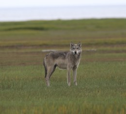 Wolf in the grass at Nanuk. Rohit Dsouza.