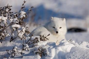 ArcticFoxNanuk