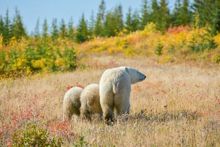 Polar bear mom with two cubs at Nanuk Polar Bear Lodge.