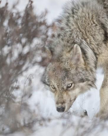 Wolf means business. Nanuk Polar Bear Lodge. Ruth Elwell-Steck photo.