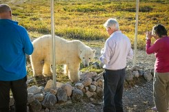 Guests view polar bear from inside the compound at Seal River Heritage Lodge.