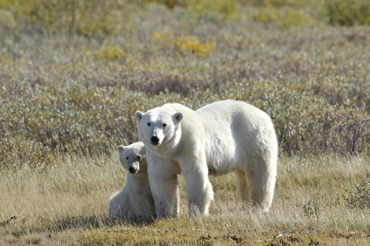 Mom and cub at Nanuk Polar Bear Lodge. Ian Johnson photo.