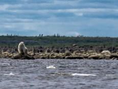 polarbearbelugas