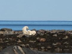 polarbearcubsnursing