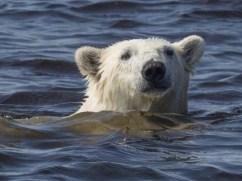 polarbearinhudsonbay