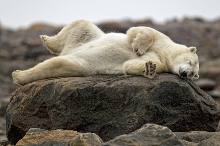 Don't let their summertime sleepiness fool you. Polar bears can travel up to 40 km per hour. Robert Postma photo.
