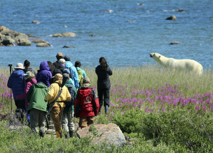 Guests walking with polar bear at Seal River Heritage Lodge. Quent Plett photo