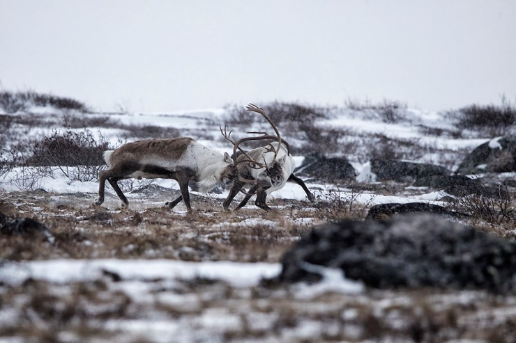 Caribou arguing at Seal River. Any Skillen photo.